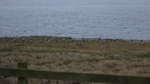 Barnacle Geese feeding outside cottage window