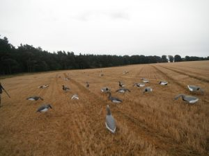 Setting up decoys for the Greylags